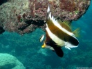 Pennant Bannerfish Fish wallpaper